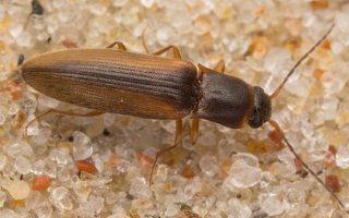 Dalopius marginatus · raudonšonis spragšis