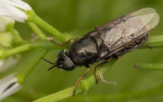 Stratiomyidae · plokščiamusės 7042