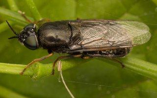 Stratiomyidae · plokščiamusės 7043