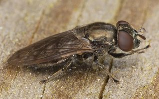 Pipizella sp. female · žiedmusė ♀