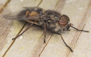 Tabanidae · sparvos 7077