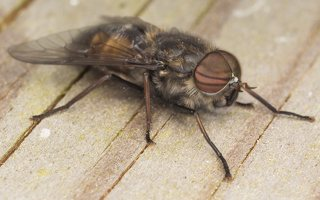 Tabanidae · sparvos 7078