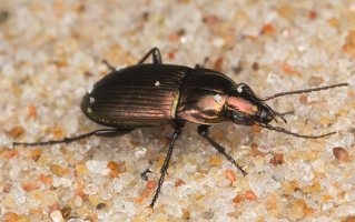 Carabidae · žygis 7081