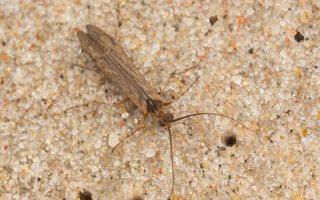 Limnephilus flavicornis · apsiuva 7089