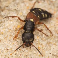 Staphylinus erythropterus · trumpasparnis