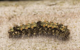 Lithosia quadra caterpillar · keturtaškė kerpytė, vikšras 7130
