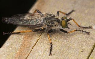 Asilidae · musė plėšrūnė 7131