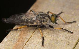 Asilidae · musė plėšrūnė 7132