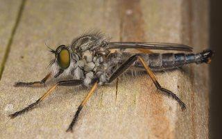 Asilidae · musė plėšrūnė 7133