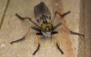 Asilidae · musė plėšrūnė 7134