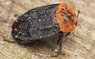 Oiceoptoma thoracicum · raudonnugaris maitvabalis 7137