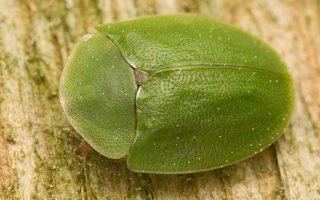 Cassida viridis · žaliasis skydinukas
