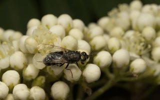 Stratiomyidae · plokščiamusės 7217