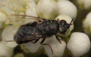 Stratiomyidae · plokščiamusės 7218