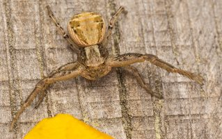Thomisidae · krabvoris 7219