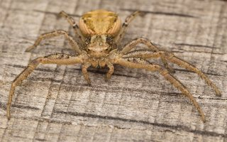 Thomisidae · krabvoris 7220