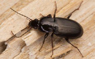 ~other Carabidae · nerūšiuoti žygiai