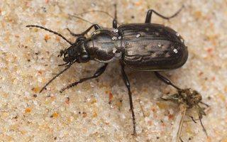 Blethisa multipunctata · daugiataškis žygis