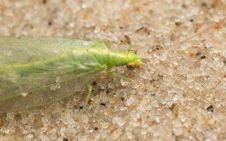 Chrysopidae · auksaakė 7276