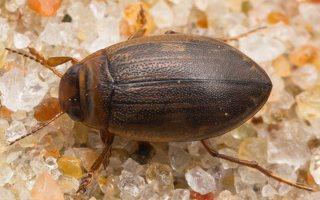 Dytiscidae · dusios 7291