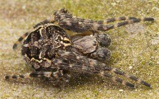 Larinioides sclopetarius · tiltinis žnypliavoris