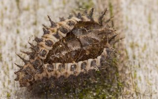 ~Other Coccinellidae · nerūšiuotos boružės