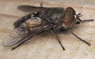 Tabanidae · sparvos 7356