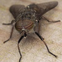 Tabanidae · sparvos 7357
