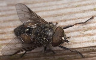 Tabanidae · sparvos 7358