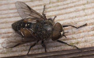 Tabanidae · sparvos 7359