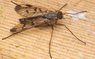 Rhagionidae · slankmusė 7360