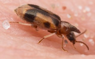 Anthicidae · mitriavabaliai