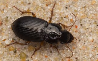 Carabidae · žygis 7451