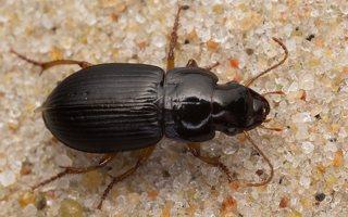 Carabidae · žygis 7452
