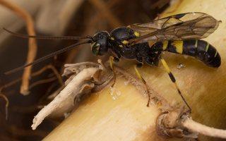 Hymenoptera · plėviasparnis 7465