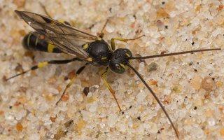 Hymenoptera · plėviasparnis 7466
