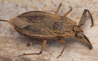 Nepa cinerea · pilkoji skorpionblakė