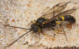 Hymenoptera · plėviasparnis 7473