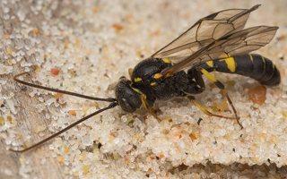 Hymenoptera · plėviasparnis 7474