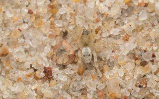 Arctosa cinerea · pilkasis pasalūnas