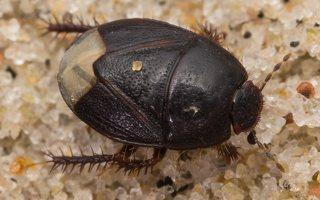 Microporus nigrita · juodoji urvablakė