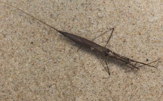Ranatra linearis · ilgoji skorpionblakė