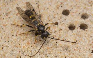 Hymenoptera · plėviasparnis 7522