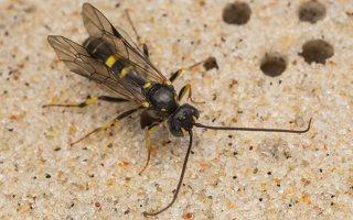 Hymenoptera · plėviasparnis 7523