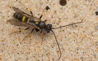 Hymenoptera · plėviasparnis 7524