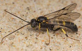 Hymenoptera · plėviasparnis 7525