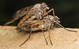 Rhagionidae · slankmusės 7572