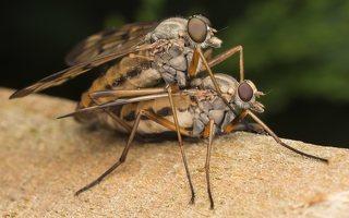 Rhagionidae · slankmusės 7573