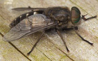 Tabanidae · sparvos 7580