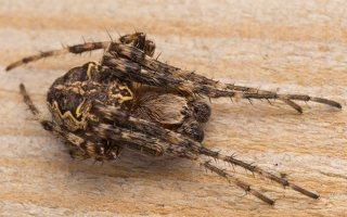 Larinioides patagiatus · pleištadėmis žnypliavoris